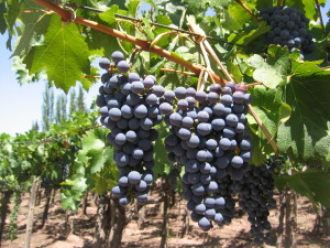 Super plump grapes in Mendoza