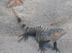 Closer up view of the iguana