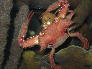 One of the crabs on our night dive in the Rosario Islands