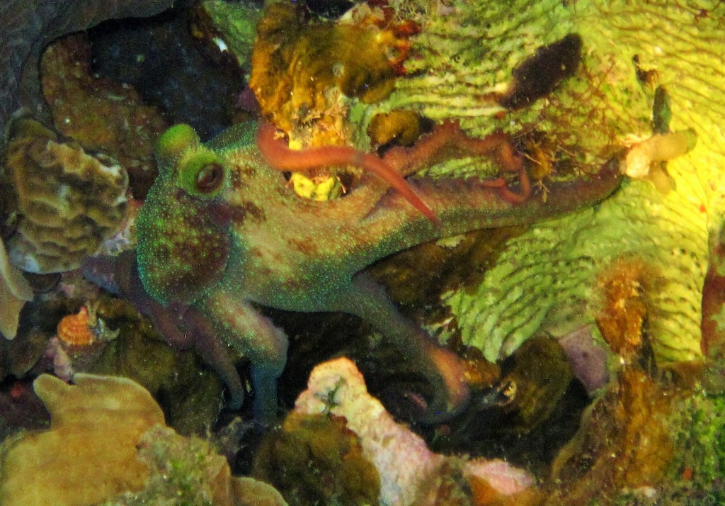 Awesome octopus we saw on a night dive.  Couldn't believe I actually got a photo of him with all these colors.  There is no retouching or enhancing.  Amazing night dive!