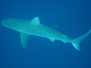 Galapagos Shark seen right below us while scuba diving at the Hammerhead shark site.