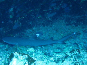 White Tip Shark seen on backwall of Molikini crater while scuba diving