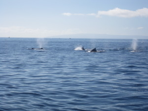 Pod of male humpback whales chasing one female